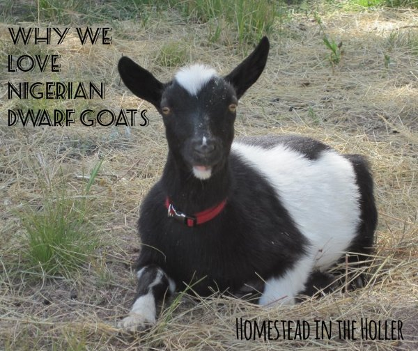 Why we love Nigerian Dwarf goats