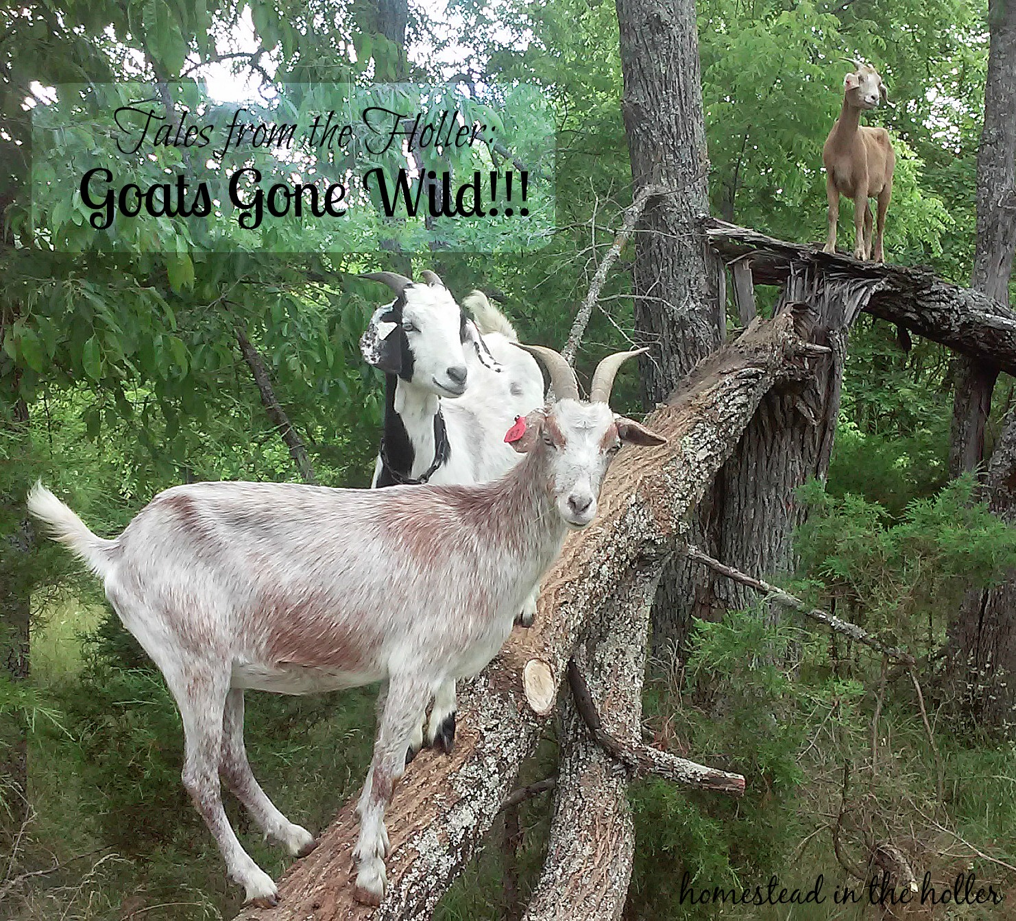 goats gone wild homestead in the holler