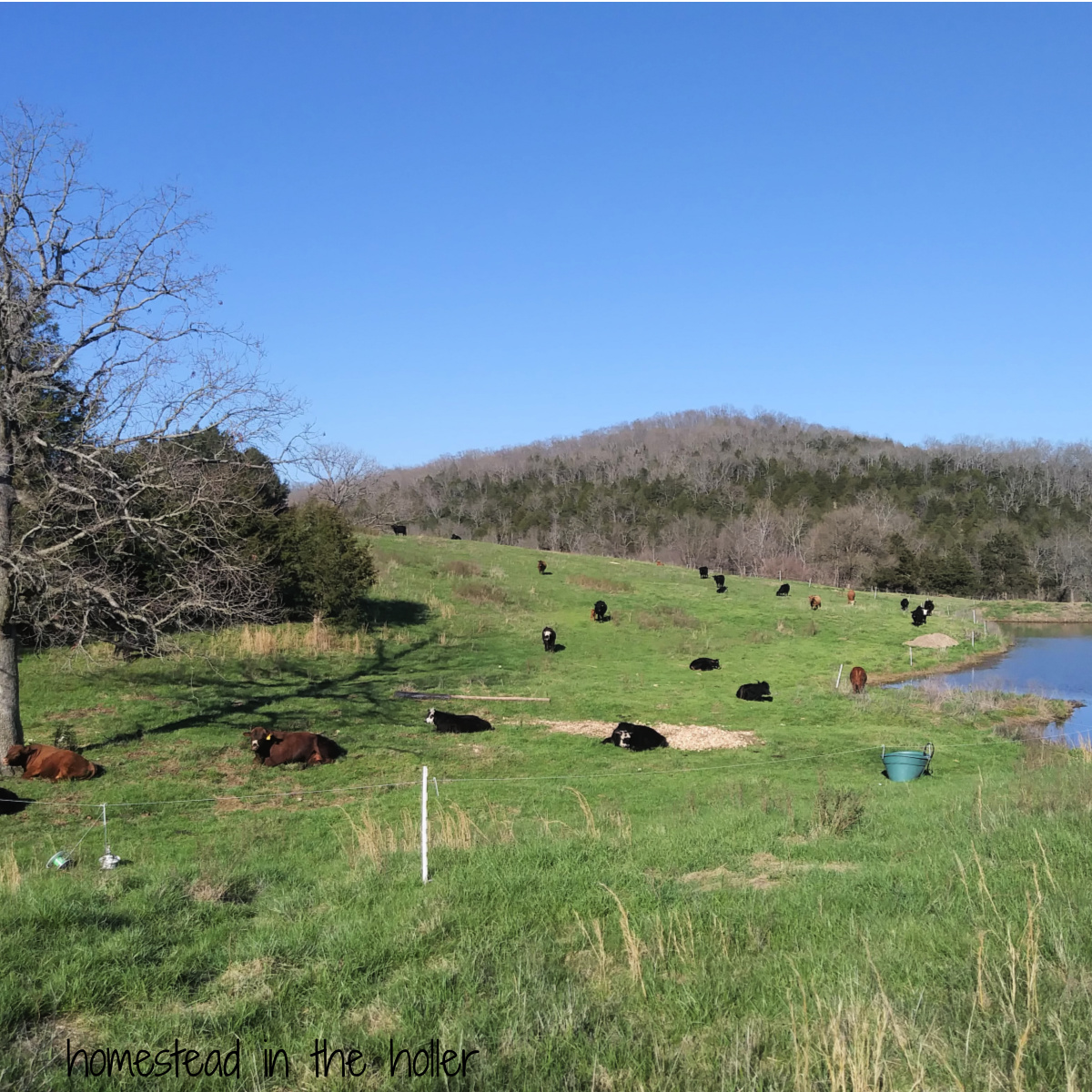 Getting started without permanent fencing - Homestead In The Holler
