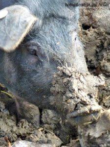 Rooting pig