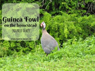 Guinea fowl on the homestead