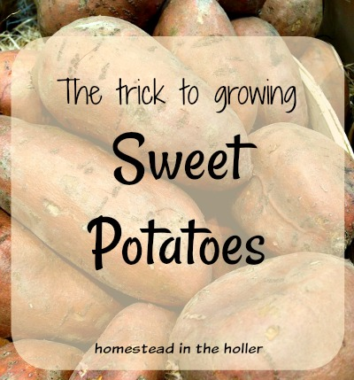 Trick to growing sweet potatoes