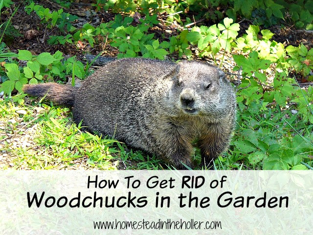 How to get rid of woodchucks in the garden