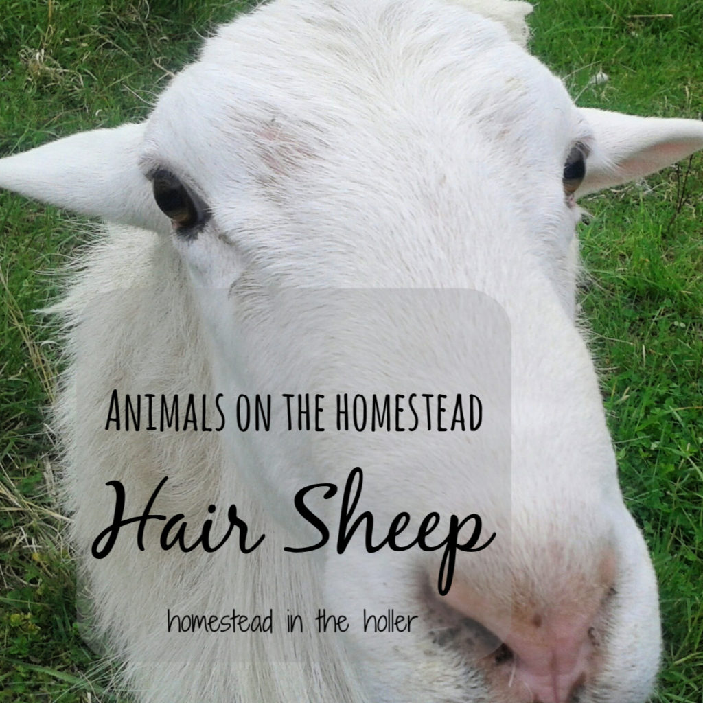 Animals on the Homestead: Hair Sheep