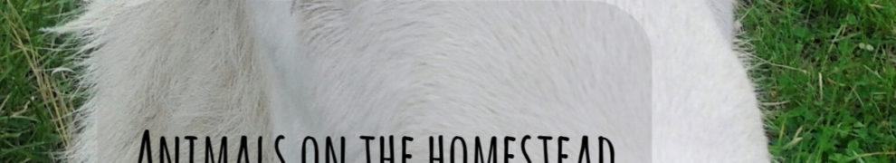 Animals on the Homestead: Hair Sheep